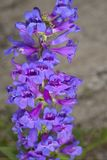 Penstemon Payettensis Royalty Free Stock Images