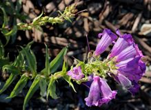 Penstemon purple cultivar. Penstemon purple, popular garden ornamental with tubular-funnel shaped purple flowers with white throat, in terminal clusters royalty free stock photography