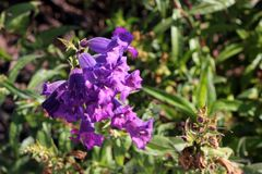 Penstemon purple cultivar. Penstemon purple, popular garden ornamental with tubular-funnel shaped purple flowers with white throat, in terminal clusters royalty free stock images