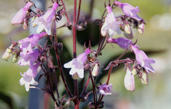 Penstemonheterophyllus 'Margarita BOP', Blauwe Bedder royalty-vrije stock afbeelding