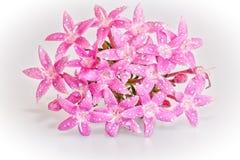 Penta kwiat Obrazy Royalty Free