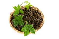 Pentaphyllum chinois Thunb feuilles sèches et fraîches de Makino de Gynostemma de nom de Jiaogulan Images stock