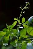 Pentaphyllum di Gynostemma jiaogulan Fotografia Stock