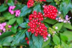 Pentas,桃红色和红色矮小的星状花 免版税库存照片