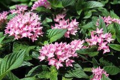 Pentas evergreenbuske Royaltyfria Foton
