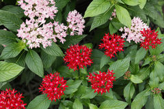 Pentas flowers Royalty Free Stock Photography