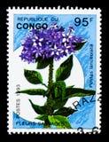 Pentas lanceolata,野花serie,大约1993年 库存图片