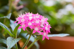 Pentas lanceolata, commonly known as Egyptian Starcluster Royalty Free Stock Photography
