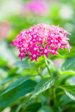 Pentas Lanceolata Royalty Free Stock Images