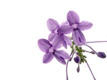 Pentas lanceolata. RUBIACEAE - The Bedstraw Family Stock Photo
