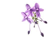 Pentas lanceolata. RUBIACEAE - The Bedstraw Family Royalty Free Stock Photo