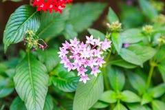Pentas, menchie i czerwona mała gwiazda, kształtowaliśmy kwiatu Zdjęcie Stock