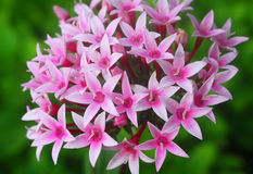 Pentas pink white flower Stock Image