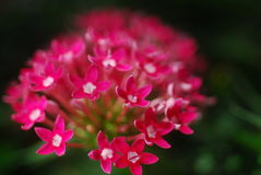 Pentas pink white flower Royalty Free Stock Photography