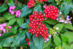 Pentas-, rosa und Rotekleine sternförmige Blume Lizenzfreies Stockfoto