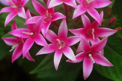 Pentas rosa weiße Blume Lizenzfreies Stockfoto