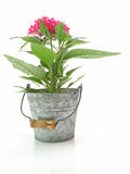 Pentas in a tin can Royalty Free Stock Photo