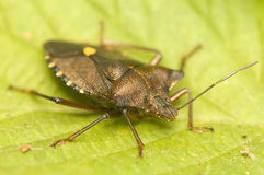 Pentatoma rufipes Royalty Free Stock Photos