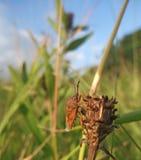 Pentatomidae на временени Стоковые Фотографии RF