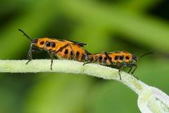 Pentatomidae Stock Photo