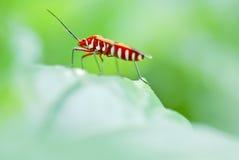 Pentatomidae Royaltyfri Foto