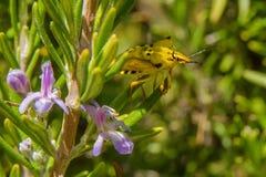 Pentatomidae gialli e neri dell'insetto dello schermo Fotografie Stock