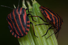 Pentatomidae graphosoma lineatum, red and black striped minstrel bug macro. Stock Photo