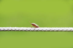 Pentatomidae palomena prasina. Bug sitting on a rope, green background stock photos