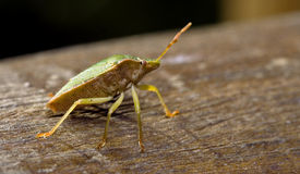 Pentatomidae palomena on a wood Royalty Free Stock Photo
