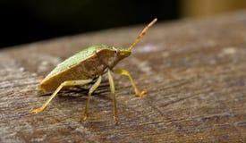 Pentatomidae palomena on a wood Royalty Free Stock Photography