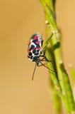Pentatomidae Stock Photos