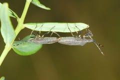 Pentatomide del Coreidae Fotografia Stock