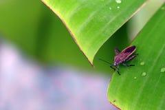 Pentatomoidea Acanthosoma Stock Photos