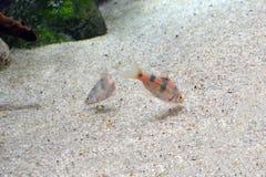Pentazona tagg i akvarium royaltyfri foto