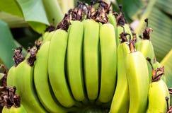 Pente da banana Foto de Stock Royalty Free
