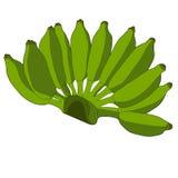 Pente de bananas cruas no vetor Ilustração do fruto no fundo branco Imagens de Stock Royalty Free