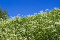 Pente inclinée avec l'herbe verte, fleurs blanches, ciel bleu Photo stock