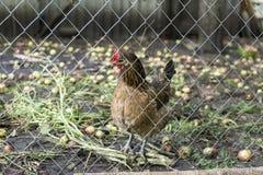 Pente salpicado da galinha atrás da cerca Fotografia de Stock