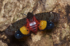 Penthicodes Ereosma variegate Стоковые Фотографии RF