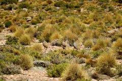 Pentlands Tinamou eller Puna Tinamou fåglar som betar i den Puna grässlätten av den Eduardo Avaroa Andean Fauna National reserven arkivbild