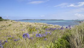 Pentle Bay, Tresco, Isles of Scilly, England. Agapanthus flowers growing near Pentle Bay, Tresco, Isles of Scilly, England Stock Photo