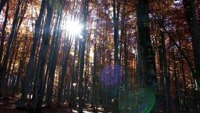 Pentola della foresta di autunno, chiarore della lente stock footage
