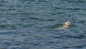 Pentola della macchina fotografica sul nuoto bianco del cane nel lago stock footage