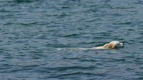 Pentola della macchina fotografica sul nuoto bianco del cane nel nuoto del cane del lakeWhite nel lago un giorno soleggiato Pento archivi video