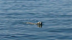 Pentola della macchina fotografica sul nuoto bianco del cane nel nuoto del cane del lakeWhite nel lago un giorno soleggiato Pento stock footage
