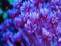 Pentola di corallo pietrosa di goniopora blu-chiaro stock footage