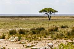 Pentola di Ethosha con l'albero, Namibia Fotografia Stock