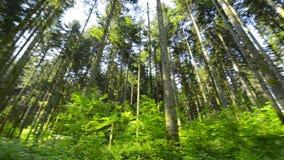 Pentola girante dei pini in primavera archivi video