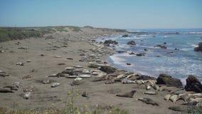 Pentola giusta della colonia di foche massiccia dell'elefante stock footage