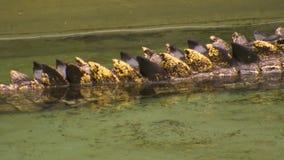 Pentola lenta lungo una coda del coccodrillo archivi video